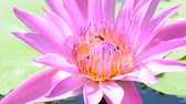 Bee eating pollen from lotus on a nature background. No Sound.
