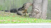 The varanus salvator are scratching their face with tree on a nature background. No Sound.