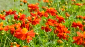 бабочки : The orange flowers in nature, bees are flying and the wind blowing gently. Стоковые видеозаписи