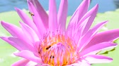 refrescante : Bee eating pollen from lotus on a nature background.
