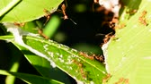 karınca : The red ant is reconnaissance on mango leaves. Stok Video