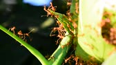 The red ant is reconnaissance on mango leaves. Vídeos