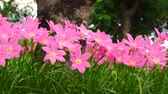 Pink zephyranthes carinata on a nature background with the wind blows all the time