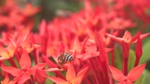 Bees are flying and eating pollen from ixora on a nature background.