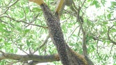 Large nest of bee giant hornet on the tree.