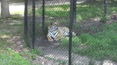 пантеры : Caged Tigers, Felines, Animal Rights, Neglect, Abuse, Zoos