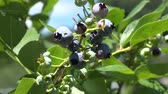 cowberry : Berries, Berry Bushes, Plants, Leaves, Foods