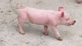 varken : Baby van Varkens, Biggen, Hogs, Farm Animals