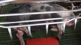 prasátko : Caged Pigs, Animal Abuse
