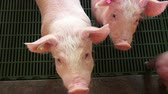 runt : Baby Pigs, Piglets, Hogs, Farm Animals Stock Footage