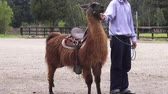 andy : Llamas, Alpacas, Camels, Zoo Animals, Wildlife