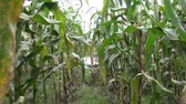kernels : Corn, Crops, Rows of Corn, Stalks Stock Footage