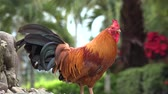 animais : Hens, Chickens, Birds, Animals