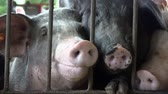 çirkin : Caged Pigs, Hogs, Swine, Farm Animals Stok Video