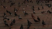 escuro : Pigeons At Dusk Or Dawn Stock Footage