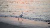 silence : Great White Egret by the waters edge at sunrise, zihuatanejo, mexico Stock Footage