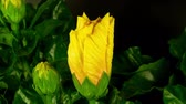 smell : a yellow hibiscus flower filmed growing over 3 days