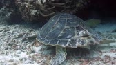 cozumel : The loggerhead turtle filmed underwater whilst sCuba diving in cozumel, mexico