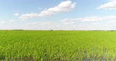 hántolatlan rizs : Aerial photography is a beautiful panorama of a rice field. Rice meadows, plantations.