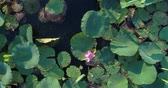 udon : Aerial photography, lake with lotuses. Stock Footage
