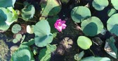 udon : Aerial photography, pink lotus, lake.