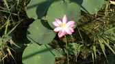 waterlily : A lotus flower on the lake. Stock Footage