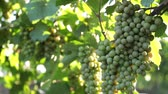 vine branch : Young green grapes, a bunch of grapes.