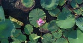 udon : A lotus flower and water lilies on the lake.