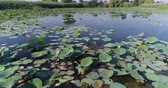 udon : A lake with lotuses, water lilies and a swamp.