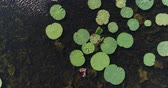 лилии : Water lilies on the water, a lake or a swamp, an aerial video. Стоковые видеозаписи