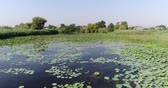 udon : Lake with lotuses, a pond or a swamp, an aerial video. Stock Footage