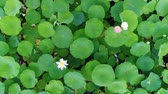 Лилли : Aerial view - pink lotuses and green water lilies. Lake of lotuses.