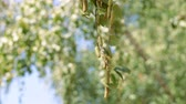 alergia : Buds of the birch. Birch leaves and buds. Wideo