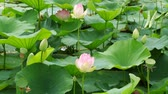 udon : Pink lotuses and green water lilies. Water lilies. Stock Footage