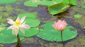 udon : Water lilies. Pink lotuses and green water lilies.