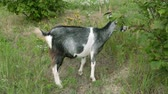 koza : Farm, goats, cattle. A goat on a meadow is eating grass. Wideo