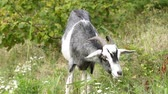 koza : A goat in the field is eating green grass. Farm, cattle, goats.