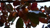 ramo : Persimmon grows on a tree.