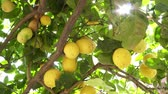 citróny : Lemon tree, yellow lemons hanging on the branches, close-up.
