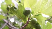 feuille de vigne : Green figs on a tree, close-up.