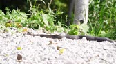 slangen : Black poisonous snake viper lies on the stones. Stockvideo