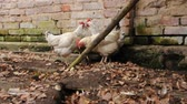 cackle : Flock of hens on village court before brick wall