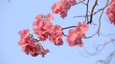 lower : Pink flowers Tabebuia rosea blossom