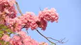lower : Pink flowers Tabebuia rosea blossom spring Stock Footage
