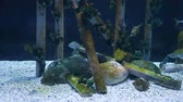 black sea turtle : Beautiful fish in the aquarium on decoration of aquatic plants background. A colorful  fish in fish tank. Stock Footage
