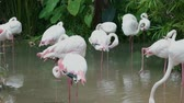 фламинго : Pink and White flamingo cleaning feathers in garden and nature background. Стоковые видеозаписи