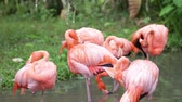 migrating : Orange and pink flamingo cleaning feathers in garden  and nature background.