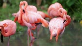 befőz : Orange and white flamingo cleaning feathers in garden  and nature background.