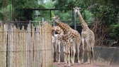 jardim zoológico : Group of Giraffe eating food in the daytime.