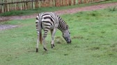 sawanna : Zebra is eating green grass in the daytime. Wideo